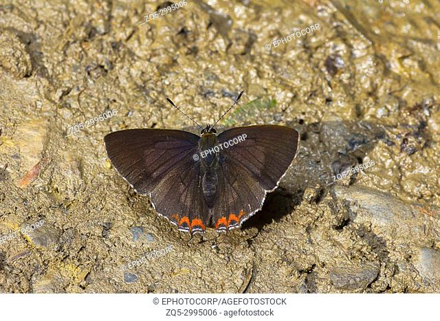 Indian Purple Sapphire butterfly, Heliophorus indicus, Satakha, Nagaland, India