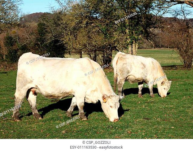 Charolais Cow and Calf