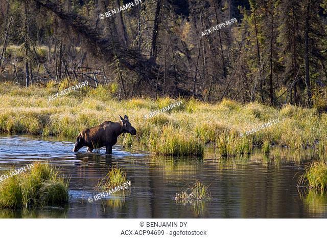 Moose, alces alces, In a lake, Alaska