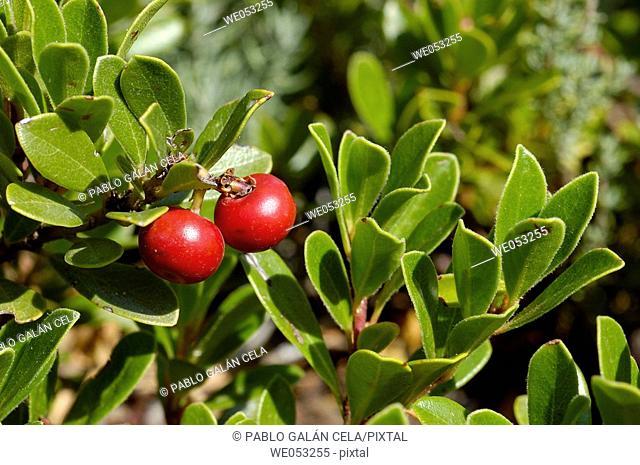 Arctostaphylos uva-ursi (Gayuba)
