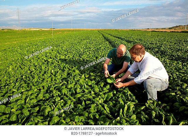 Spinach growing fields, Agricultural investigation and research, Agricultural fields, High Ribera, Arga-Aragon Ribera, Navarre, Spain