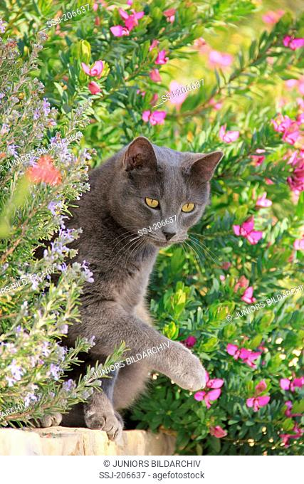 Domestic cat. Blue adult sitting in a flowering garden. Spain
