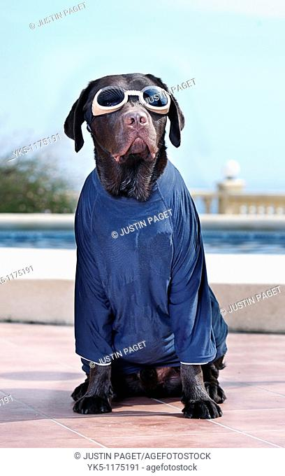 Labrador in Surfing Kit - Sun Protection Top