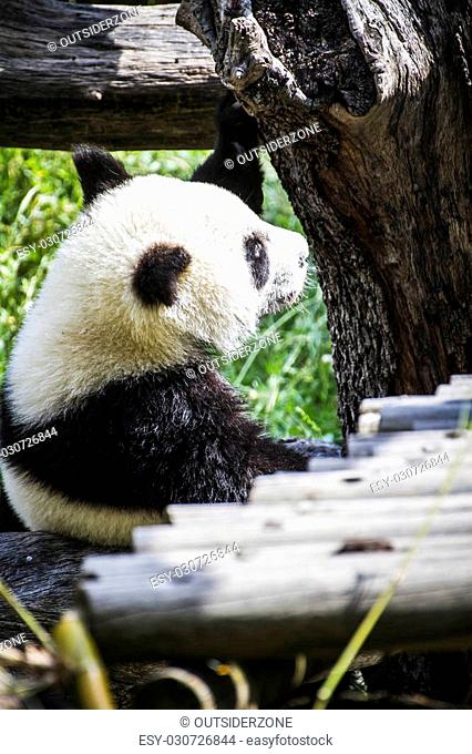 Habitat, Beautiful breeding panda bear playing in a tree