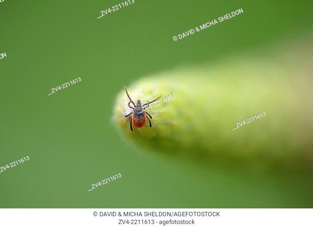Close-up of a deer tick or blacklegged tick (Ixodes scapularis) in spring