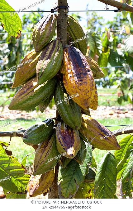 Ripe cocoa beans hanging on a tree
