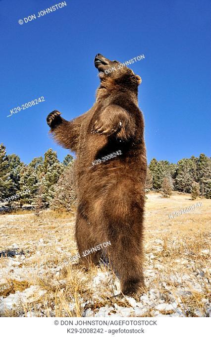 Grizzly bear (Ursus arctos) in late autumn mountain habitat, Bozeman, Montana, USA