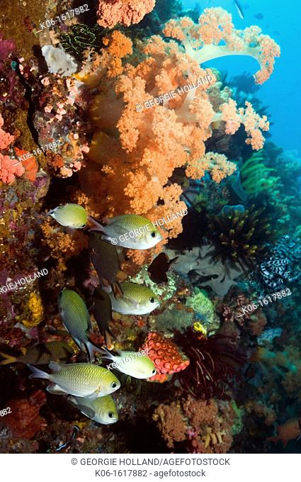 Philippines chromis Chromis scotochiloptera with soft corals  Komodo National Park, Indonesia