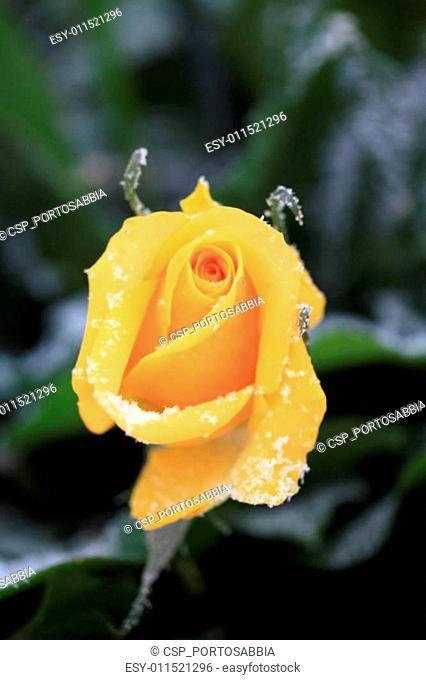 yellow snow rose