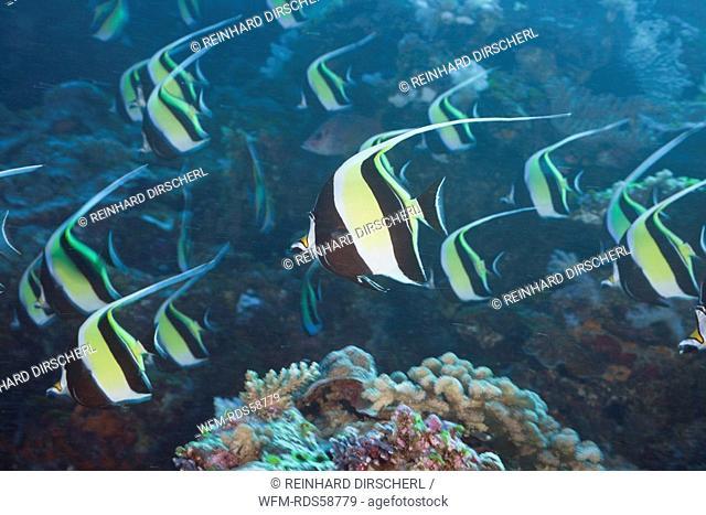 Pennant Bannerfish, Heniochus diphreutes, Blue Corner, Micronesia, Palau
