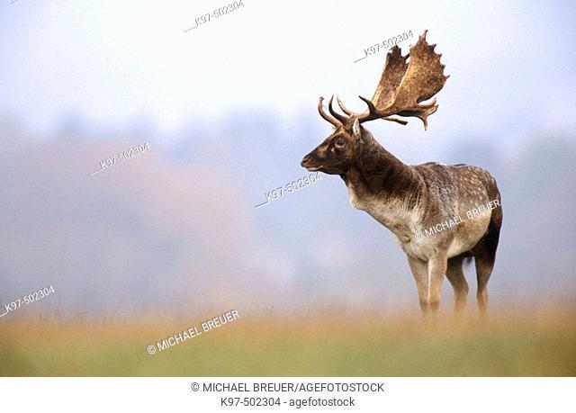Fallow Deer (Cervus dama). Denmark