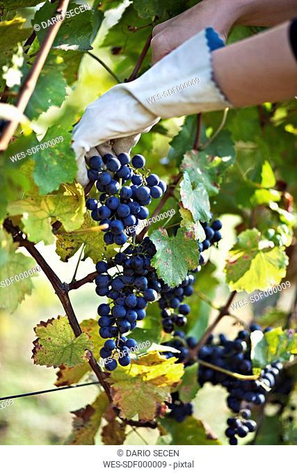 Croatia, Baranja, Young woman picking grapes