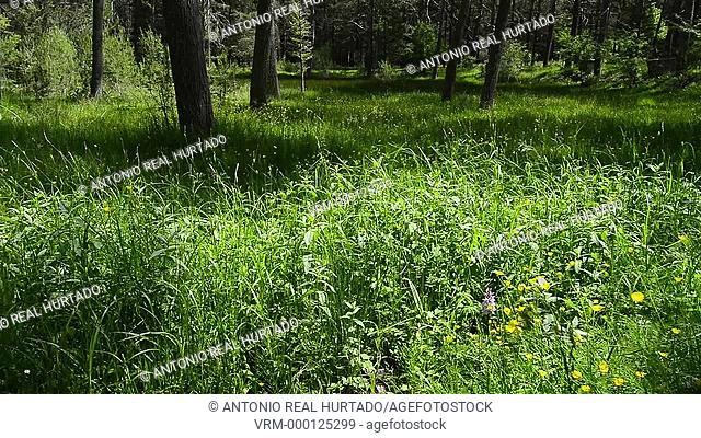 Meadow in forest. Cuenca mountain range natural park. Cuenca province. Spain