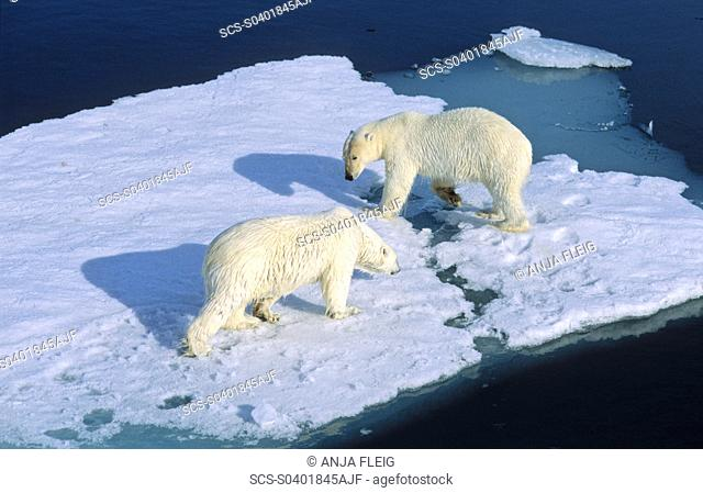 Meet up of two Polar Bears Ursus maritimus the weaker one has to give way Northwest of Nordaustlandet, Svalbard Archipelago, High Norwegian Arctic