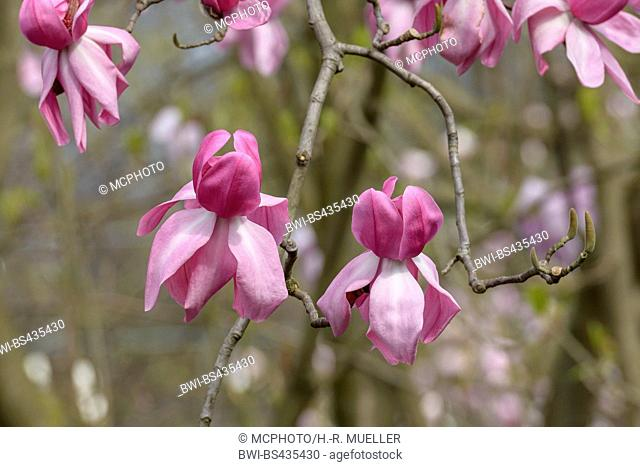 magnolia (Magnolia campbellii 'Darjeeling', Magnolia campbellii Darjeeling), cultivar Darjeeling
