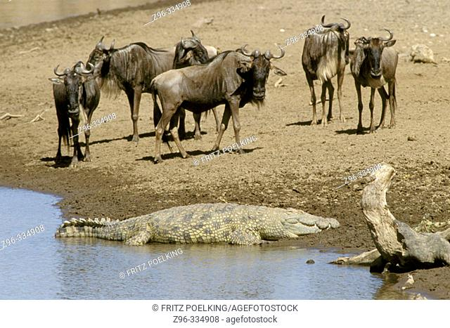 Blue Wildebeests (Connochaetes taurinus) and crocodile. Masai Mara Natural Reserve, Kenya