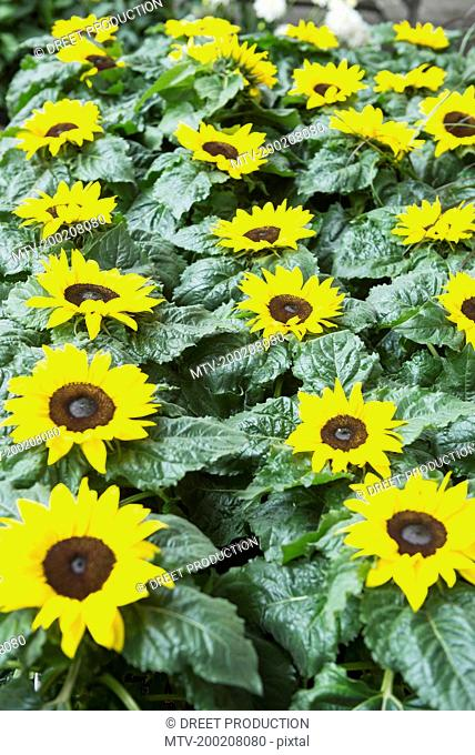 Close-up of sunflowers blooming in garden centre, Augsburg, Bavaria, Germany