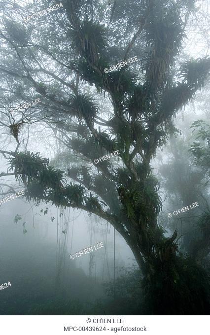 Tree in cloud forest, Henri Pittier National Park, Venezuela