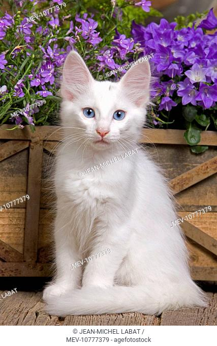 Cat - Turkish Angora kitten