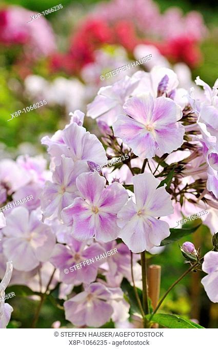 Garden phlox Phlox paniculata 'Prospero'