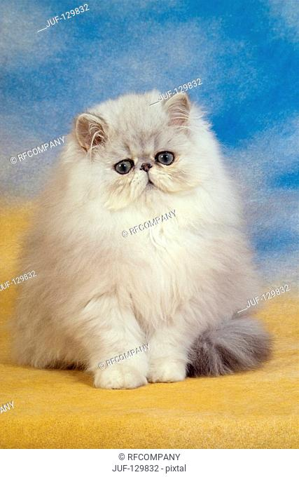 young Persian cat - sitting - cut out