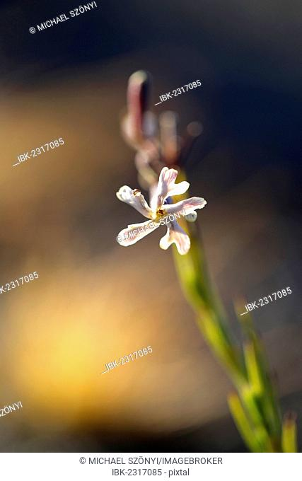 Hawaiian catchfly (Silene hawaiiensis), blossom, Kilauea Overlook, Hawaii Volcanoes National Park, Big Island, USA