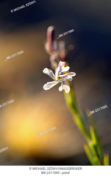 Hawaiian catchfly (Silene hawaiiensis), blossom, Kilauea Overlook, Hawaii Volcanoes National Park, Big Island, USA