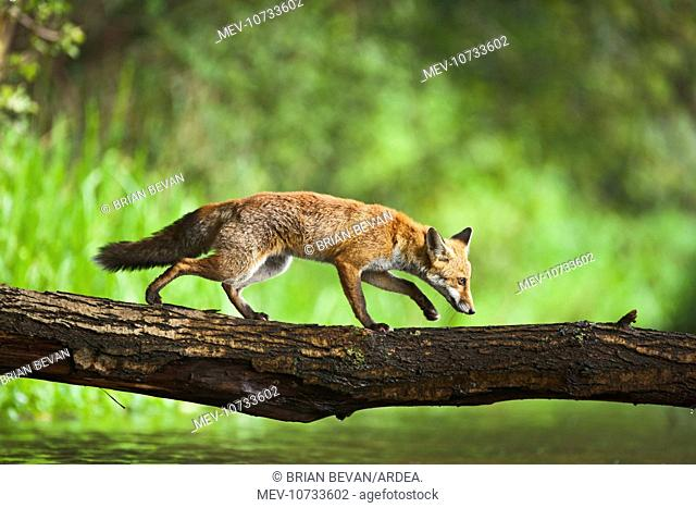 Red Fox - crossing stream on log - controlled conditions (Vulpes vulpes)