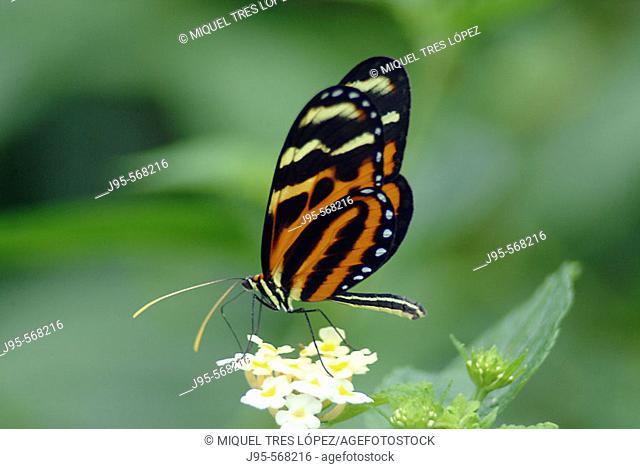 Glassywing Butterfly (Lycorea cleobaea). Monteverde, Costa rica