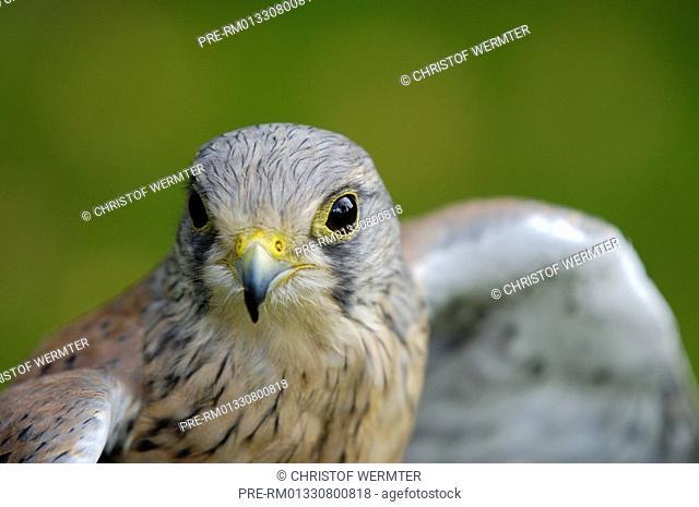 Kestrel, Common Kestrel, Falco tinnunculus
