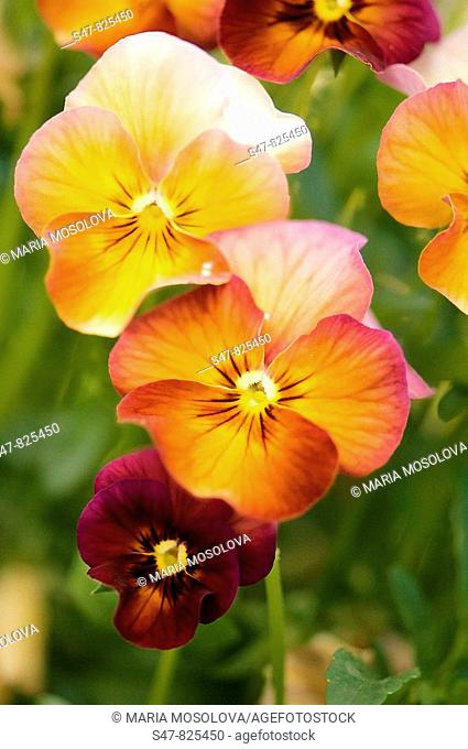Terracota Pansy Flower Group. Viola x wittrockiana