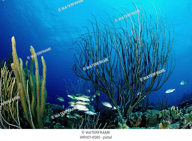 Coral Reef with Schooling Fishes, Caribbean Sea, Tobago