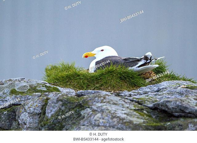 greater black-backed gull (Larus marinus), breeds on a rock, Norway, Lofoten Islands