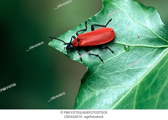 Black-headed Cardinal Beetle, Pyrochroa coccinea, Coleoptera: Pyrochroidae, 2004, Bonn, Germany