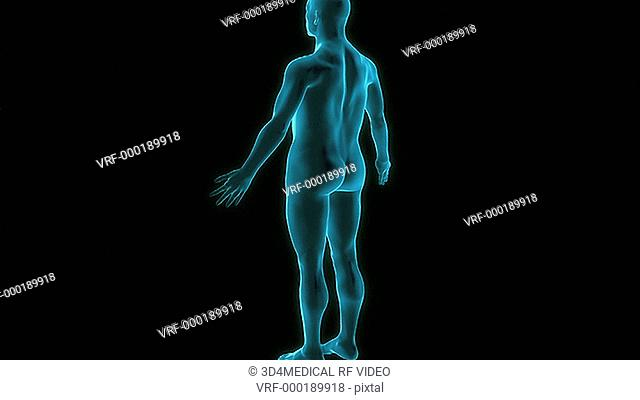 An animation of the sciatic nerve. The camera zooms in to show posterior view of the nerve relative to the surface anatomy of the body