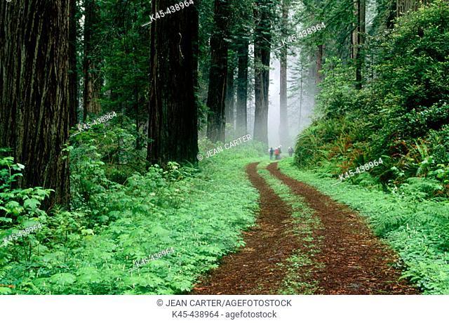 Del Norte Redwoods in fog, Redwood National Park. Northern California, USA