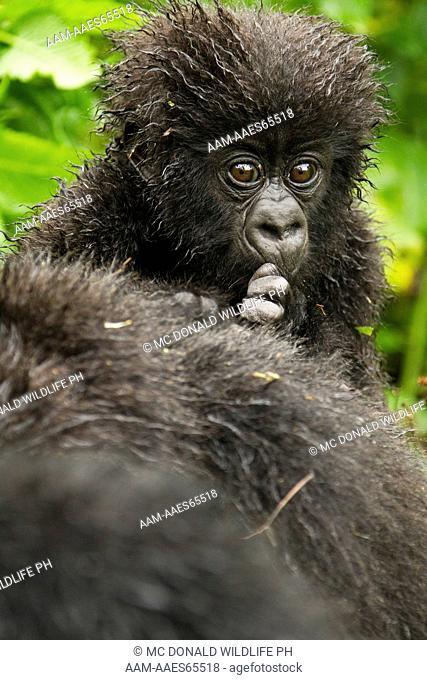 Mountain Gorilla (Gorilla gorilla beringei) baby riding on mothers back, Sabyinyo Group, Volcanoes National Park, Rwanda