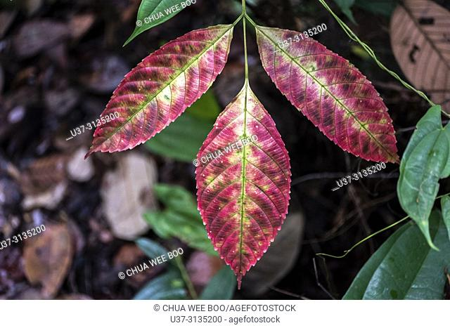 Colourful leaves. Image taken at Stutong Forest Reserve Park, Kuching, Sarawak, Malaysia