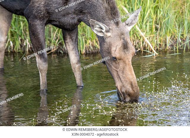 A moose drinks from a water hole, A moose drinks from a water hole with her young, Grand Tetons National Park, Teton County, Wyoming. USA