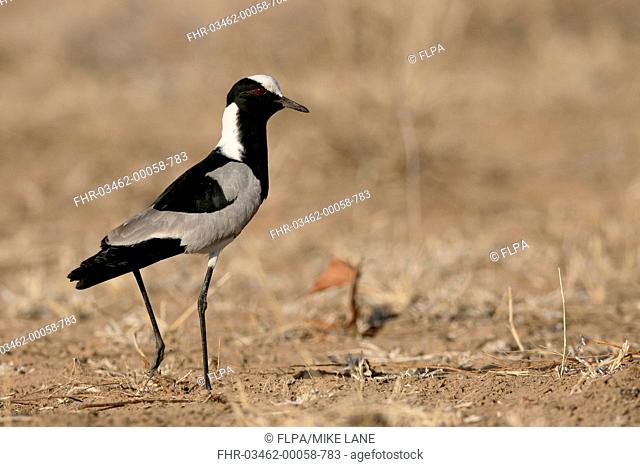 Blacksmith Plover (Vanellus armatus) adult, walking on bare ground, South Africa, August