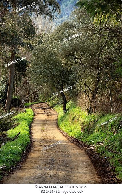 chestnut forest path. Castano del Robledo, Huelva, Andalucia, Spain
