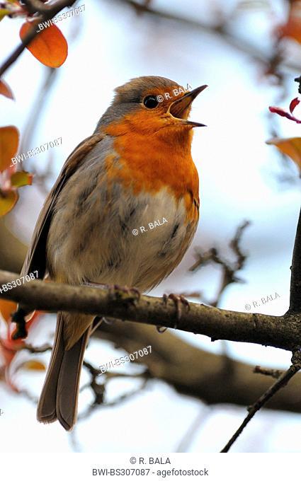 European robin (Erithacus rubecula), singing male, Germany