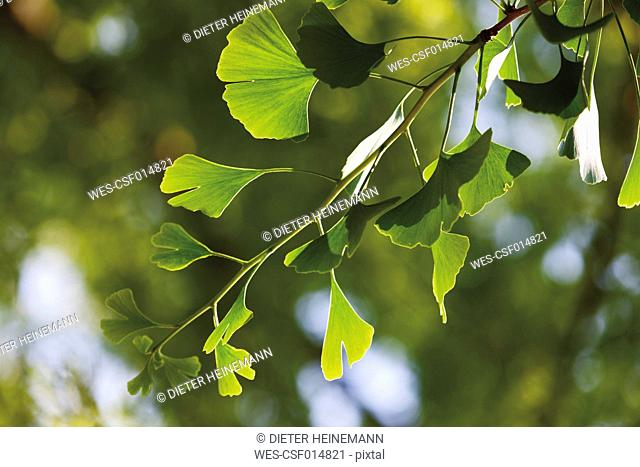 Ginko tree, close up