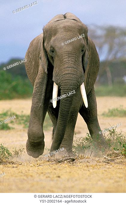 African Elephant, loxodonta africana, Adult with a Leg Injury, Masai Mara Park in Kenya