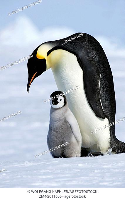 ANTARCTICA, WEDDELL SEA, SNOW HILL ISLAND, EMPEROR PENGUIN COLONY Aptenodytes forsteri, ADULT WITH CHICK ON FAST ICE