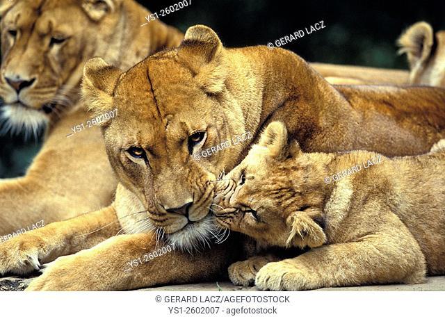 African Lion, panthera leo, Mother and Cub, Masai Mara Park in Kenya