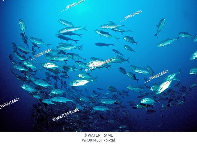 Shoal of Bigeye Trevally, Caranx sexfasciatus, German Channel, Micronesia, Palau