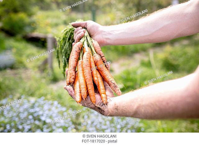 Man harvesting carrots in vegetable garden