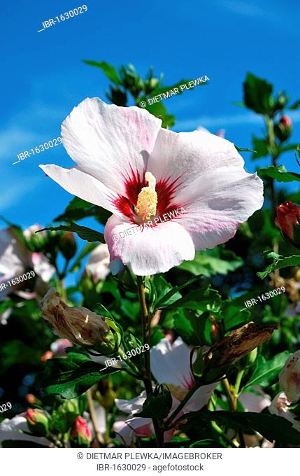 Blooming Hibiscus Red Heart (Hibiscus syriacus cultivar Red Heart)