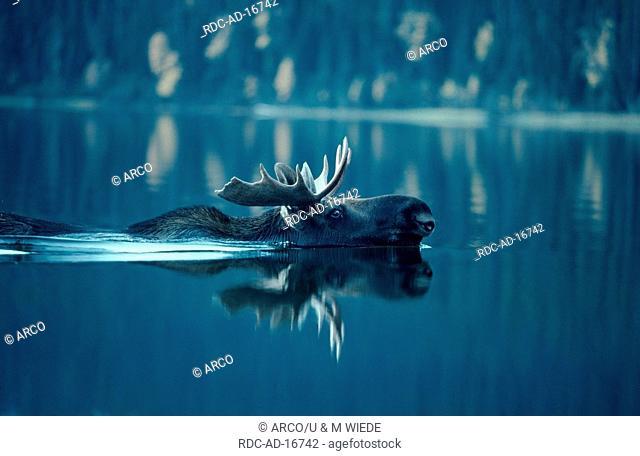 Moose bull Bowron Lake Canada Alces alces side